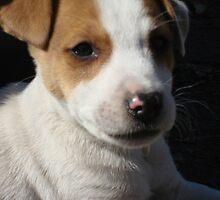 Jack Russel Terrier by Rebecca Glenn