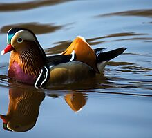 Mandarin Duck by haynes99