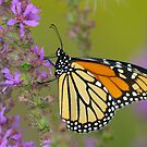 Monarch and Loosestrife by Heather Pickard