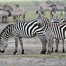 Zebra Family by Raymond J Barlow
