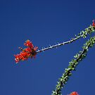 Ocotillo Bloom by Dawn Parker