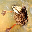 Diving duck by Stephen Frost