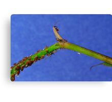 Rose Aphids Canvas Print