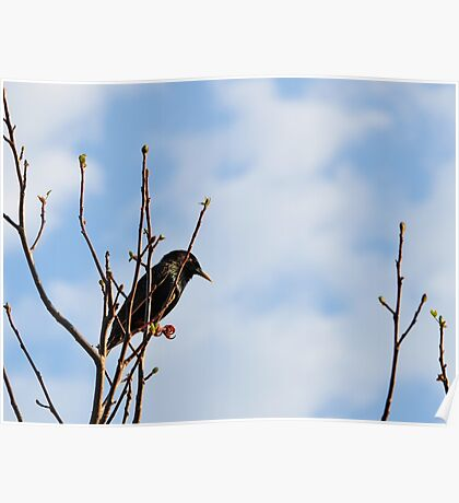 A Starling For Mozart Poster