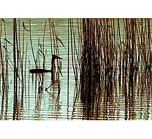 Grebe In The Reeds Photographic Print
