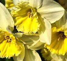 Yellow, Frilly, Daffys by Sandra Cockayne