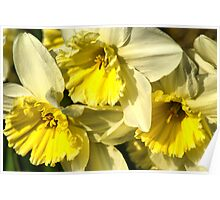 Yellow, Frilly, Daffys Poster