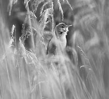 Reed Warbler by Nigel Tinlin