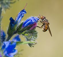 Hoverfly by Nigel Tinlin