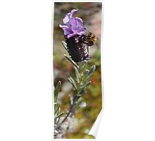 Lavender and Bee Poster