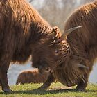 Bulls Fight  by Henri Ton