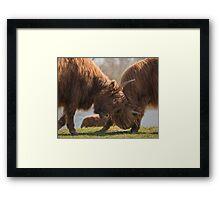 Bulls Fight  Framed Print