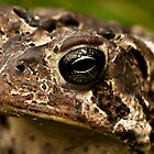 American Toad Portrait by onyonet photo studios