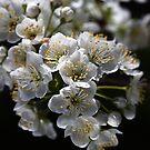 White Blossom by Joy Watson
