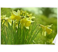 Wild Daffodils  Poster