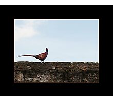 The Pheasant Photographic Print