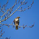 Montana solitary Red-tailed Hawk in March by amontanaview