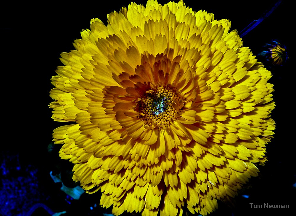 Yellow Flower by Tom Newman