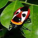 Ixora Shield-Bug by aussiecreatures