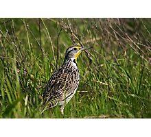 Meadowlark Photographic Print