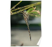 Australian Emerald Dragonfly Poster