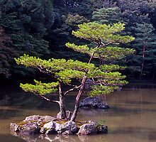 Ornamental Pine, Golden Pavilion, Kyoto , Japan. by johnrf