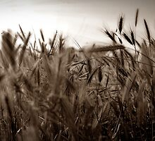 Winds of Gold by Cleber Photography Design