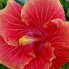 Huge Lovely Red Hibiscus by Angela Gannicott