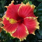 Large Red and Yellow Hibiscus by Angela Gannicott