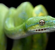 Green Tree Python by Dave Cauchi