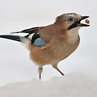 A Jay with Food Balancing by cameravan1