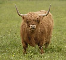 """A Highland Cow....""""you talkin to me""""!! by cameravan1"""