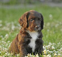 A Field Working Cocker Spaniel Pup - Fudge by cameravan1