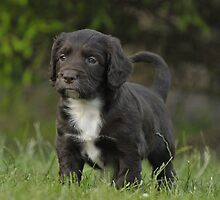 A Black Field Working Cocker Spaniel by cameravan1
