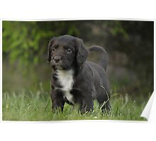 A Black Field Working Cocker Spaniel Poster