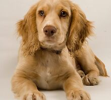A Stuning Image of a Field Working Cocker Spaniel Pup by cameravan1