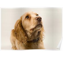 Mac - Field Working Cocker Spaniel Pup Poster