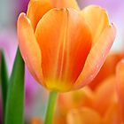 Tangerine Tulip by Renee Hubbard Fine Art Photography