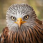 Red Kite (Milvus milvus) by Steve  Liptrot