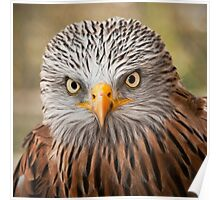 Red Kite (Milvus milvus) Poster
