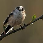 Long Tailed Tit. by Mark Hughes