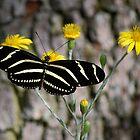 Zebra longwing butterfly by Ben Waggoner