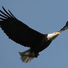 Bald Eagle in Flight by LVFreelancer