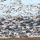 Flock of Snow Geese in Flight by LVFreelancer