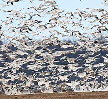 Flock of Snow Geese in Flight by LVFreelancer