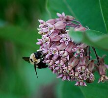 Bumble Bee on Milkweed Flower by Diane Blastorah