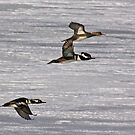 Hooded Merganser In Flight by swaby
