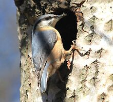 Eurasian Nuthatch by DutchLumix