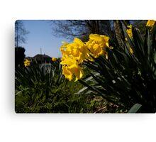 Roadside Daffodils Canvas Print