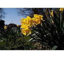 Roadside Daffodils Photographic Print